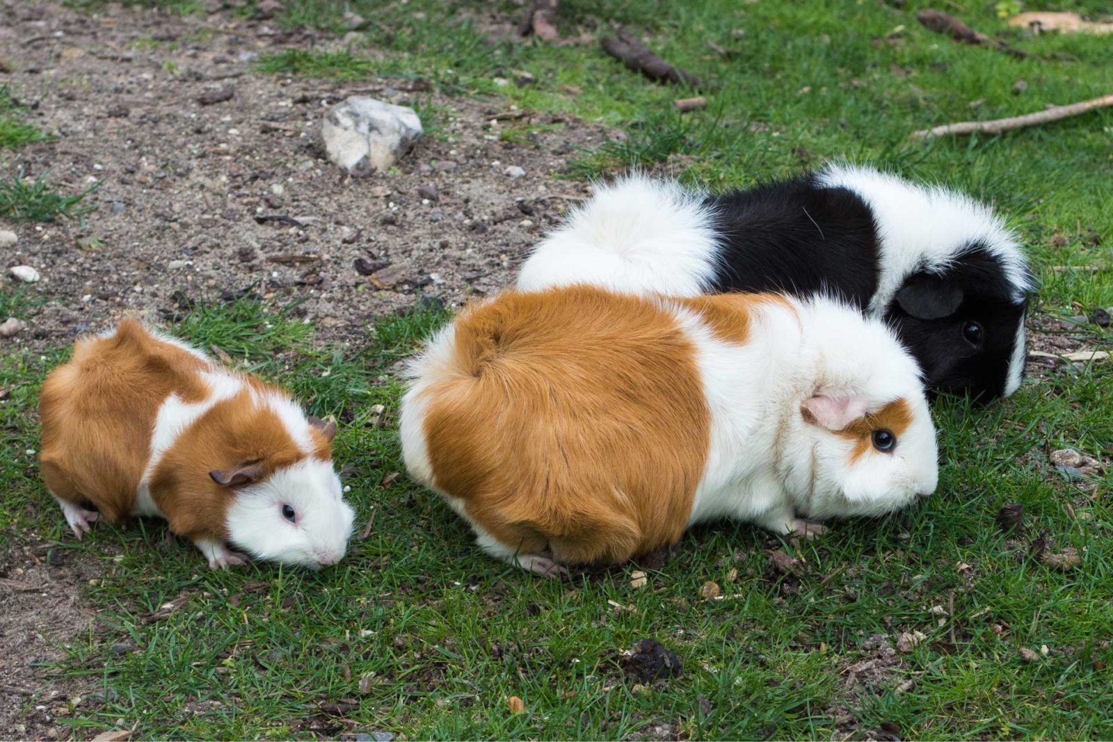 guinea pig for dogs