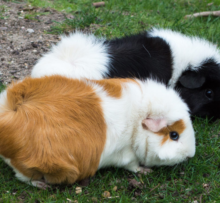 whole guinea pig